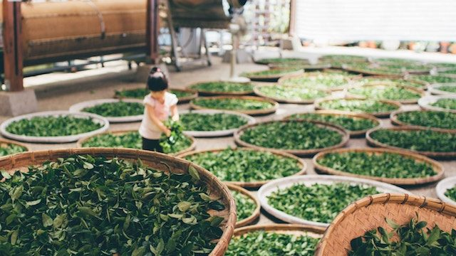 Chinese tea - Camellia sinensis (L.) Kuntze